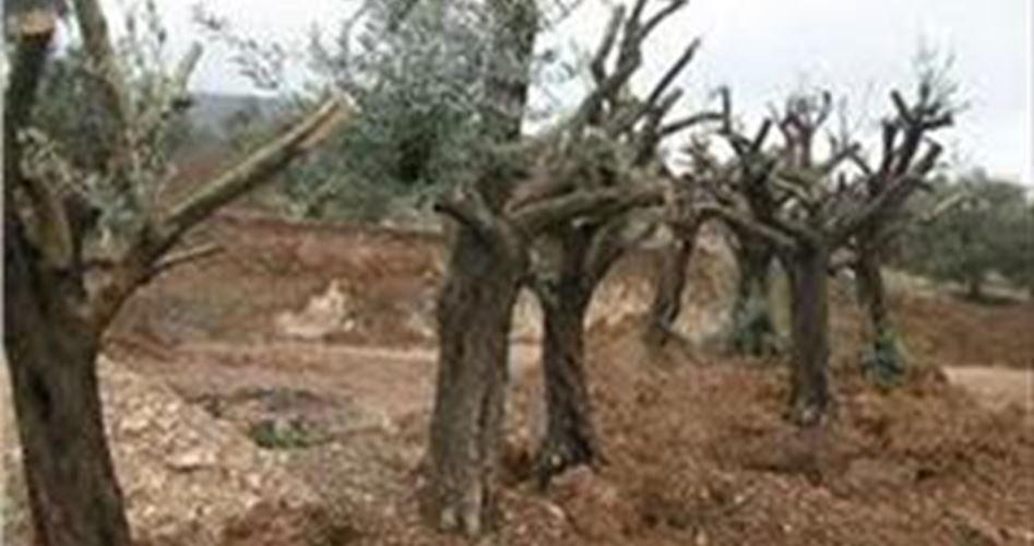 L'occupant décide de déraciner 1000 oliviers en Cisjordanie occupée